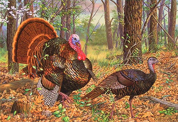 """Beauty And The Feast"" - Wild Turkeys by artist Randy McGovern"
