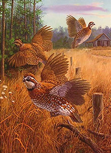 """Covey Rise"" - Bobwhite Quail by artist Randy McGovern"